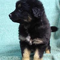 Adopt A Pet :: Keagan - Westminster, CO