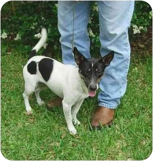 Fox Terrier (Smooth) Mix Dog for adoption in Kingwood, Texas - FOXY