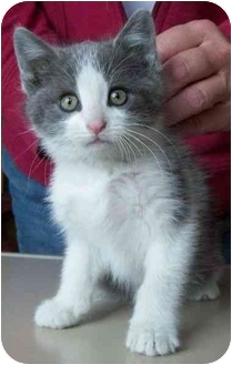 Domestic Mediumhair Kitten for adoption in North Judson, Indiana - Briggs