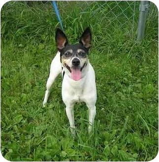 Rat Terrier/Jack Russell Terrier Mix Dog for adoption in Austin, Minnesota - Vida