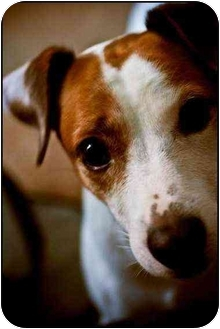 Jack Russell Terrier Mix Dog for adoption in Houston, Texas - Penelope June in Houston