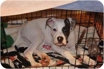 American Bulldog Mix Dog for adoption in Rochester, New York - Salvador