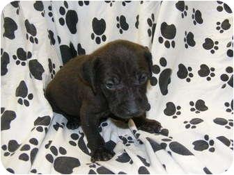 Weimaraner/Labrador Retriever Mix Puppy for adoption in Rochester, New Hampshire - Sammy