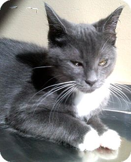 Domestic Shorthair Kitten for adoption in Gahanna, Ohio - ADOPTED!!!   Edgar