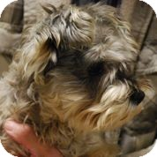 Schnauzer (Miniature) Mix Dog for adoption in Coventry, Rhode Island - Trixie