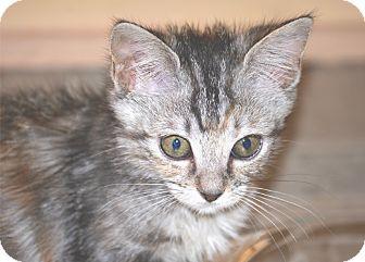 Domestic Shorthair Kitten for adoption in Houston, Texas - Ariel