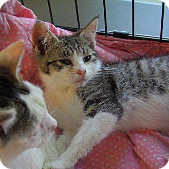 Domestic Shorthair Kitten for adoption in Tillamook, Oregon - Dot-to-Dot