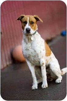 Pointer Mix Dog for adoption in Portland, Oregon - Moose