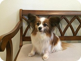 Papillon Dog for adoption in Rancho Cucamonga, California - Lexi