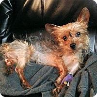 Adopt A Pet :: Muschu - Fairfax, VA