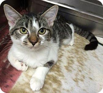 Domestic Shorthair Kitten for adoption in Bradenton, Florida - Fillipa