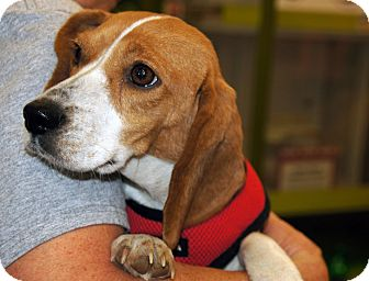 Beagle Dog for adoption in Marion, North Carolina - Pasley