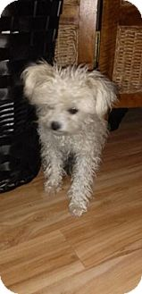 Maltese/Miniature Poodle Mix Puppy for adoption in North Hills, California - Juliette