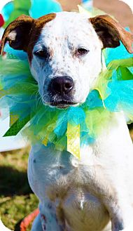 Catahoula Leopard Dog Mix Dog for adoption in East Hartford, Connecticut - Charlie meet me 12/19
