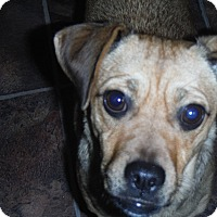 Adopt A Pet :: Rosie - Arenas Valley, NM