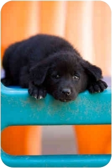 German Shepherd Dog/Labrador Retriever Mix Puppy for adoption in Portland, Oregon - Lexington