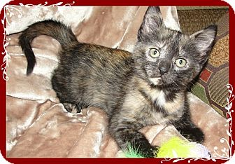 Domestic Shorthair Kitten for adoption in Mt. Prospect, Illinois - Tia