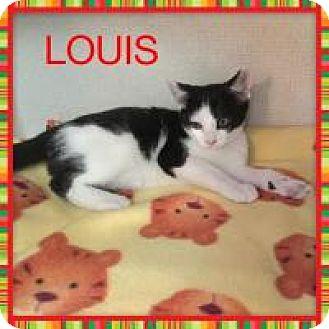 Domestic Shorthair Kitten for adoption in Hamilton, New Jersey - LOUIS - 2015