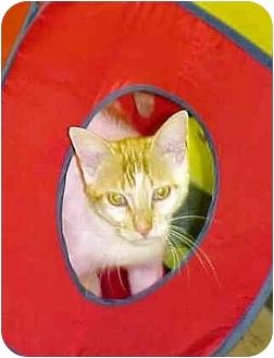 Domestic Shorthair Cat for adoption in HARRISONVILLE, Missouri - HUEY