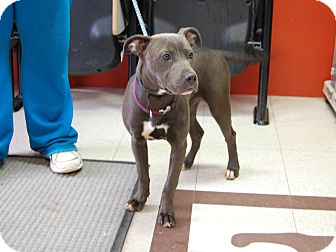 Pit Bull Terrier Mix Dog for adoption in North Judson, Indiana - Bleu