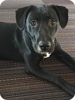 Labrador Retriever Mix Puppy for adoption in St. Francisville, Louisiana - Marty