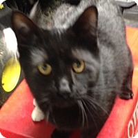 Domestic Shorthair Cat for adoption in Elyria, Ohio - Coal