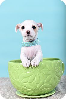 Rat Terrier Mix Puppy for adoption in Houston, Texas - Betty