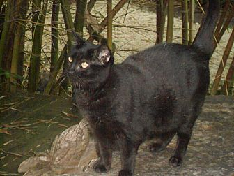 Domestic Shorthair Cat for adoption in Naples, Florida - Midnight