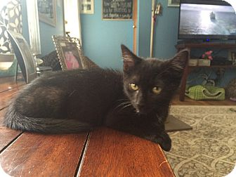 Domestic Shorthair Kitten for adoption in Jackson, New Jersey - Bubbles