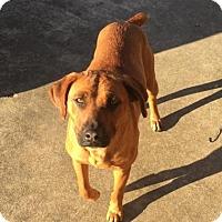 Adopt A Pet :: Hershey Bell - Staunton, VA