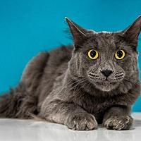 Adopt A Pet :: Suede - Chandler, AZ