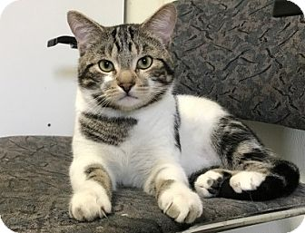 Domestic Shorthair Cat for adoption in Lathrop, California - Oliver