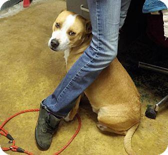 Pit Bull Terrier/Labrador Retriever Mix Dog for adoption in Waverly, Ohio - Dash