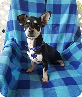 Chihuahua/Dachshund Mix Puppy for adoption in Albany, New York - Tango