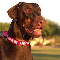 Adopt A Pet :: Pumpkin - Phoenix, AZ