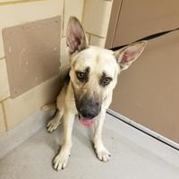 Adopt A Pet :: ZEUS-qp-7 - Mesquite, TX