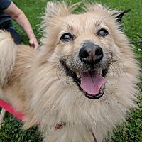 Adopt A Pet :: Lassie - East Hartford, CT