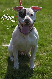 American Staffordshire Terrier Dog for adoption in New Milford, Connecticut - Elmer