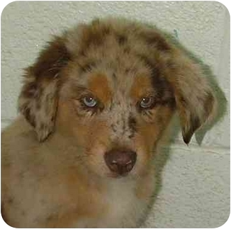 Australian Shepherd Mix Puppy for adoption in Fulton, Missouri - Curly