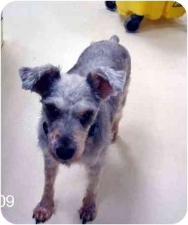 Schnauzer (Standard) Mix Dog for adoption in Albany, Georgia - Nitro