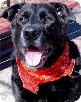 Labrador Retriever/Flat-Coated Retriever Mix Dog for adoption in Huntington, New York - Jagger