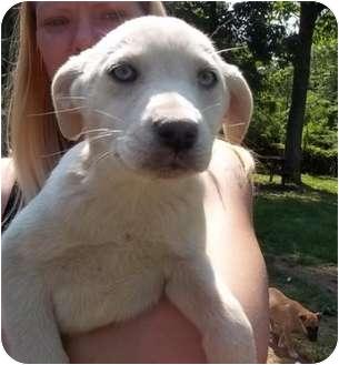 Hound (Unknown Type)/Shepherd (Unknown Type) Mix Puppy for adoption in Spring Valley, New York - Sakima