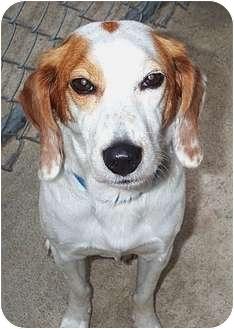 Spaniel (Unknown Type) Mix Dog for adoption in Beacon, New York - Speedy