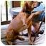 Photo 2 - Redbone Coonhound Mix Dog for adoption in Plainfield, Connecticut - Ben