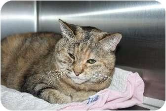 Domestic Shorthair Cat for adoption in Medina, Ohio - Popsy