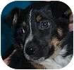 Australian Shepherd/Collie Mix Puppy for adoption in Hamilton, Ontario - BB