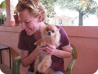 Pomeranian Puppy for adoption in Allentown, Pennsylvania - Cecilia