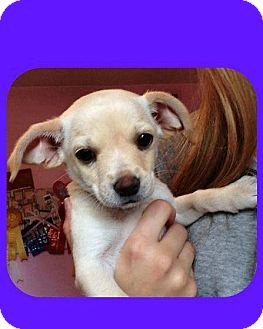Chihuahua/Cocker Spaniel Mix Puppy for adoption in Scottsdale, Arizona - Joey