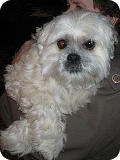 Lhasa Apso Dog for adoption in Salem, Oregon - Isaiah