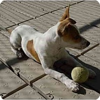 Adopt A Pet :: STITCHES - Scottsdale, AZ